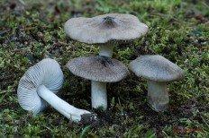 Рядовка напочвенная (Tricholoma terreum)