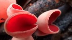 Саркосцифа алая (Sarcoscypha coccinea)
