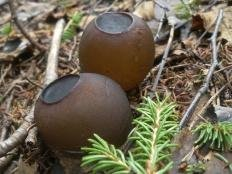 Саркосома шаровидная (Sarcosoma globosum)