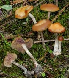 Серная голова (Psilocybe mairei)