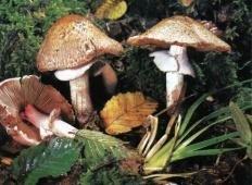 Шампиньон темно-красный (Agaricus haemorroidarius)