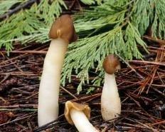 Шапочка коническая (Verpa conica)