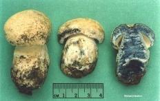 Синяк (Gyroporus cyanescens)