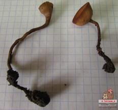 Склеротиния клубневая (Dumontinia tuberosa)