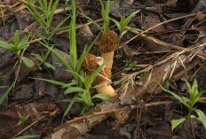 Шапочка сморчковая (Verpa bohemica)