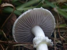 Строфария чёрноспоровая (Stropharia melanosperma)