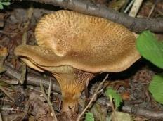 Свинушка ольховая (Свинушка осиновая) (Paxillus rubicundulus)
