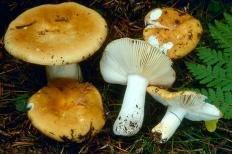 Сыроежка охристая (Russula ochroleuca)