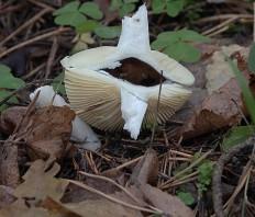 Сыроежка (Russula sp)