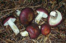 Сыроежка буреющая (Russula xerampelina)