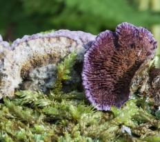 Трихаптум буро-фиолетовый (Trichaptum fuscoviolaceum)