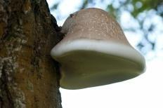 Трутовик берёзовый (Fomitopsis betulina)