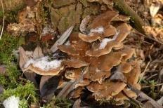 Трутовик дымчатый (Bjerkandera fumosa)