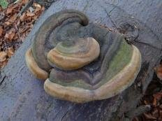 Трутовик гартига (Phellinus hartigii)