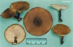 Трутовик изменчивый (Cerioporus varius)