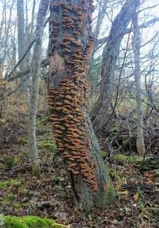 Трутовик лучистый (Xanthoporia radiata)