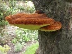 Трутовик щетинистоволосый (Inonotus hispidus)