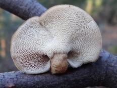 Трутовик зимний (Lentinus brumalis)