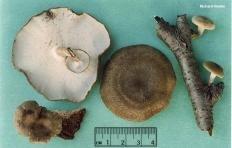 Трутовик зимний (Polyporus brumalis)