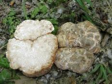 Трюфель троицкий (Choiromyces meandriformis)