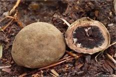 Трюфель олений (Elaphomyces granulatus)