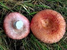 Волнушка розовая (Lactarius torminosus)