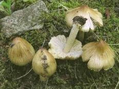 Волоконница трещиноватая (Inocybe rimosa)