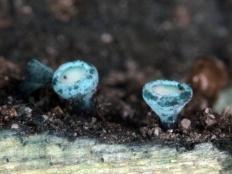 Хлороцибория сине-зеленая (Chlorociboria aeruginosa)