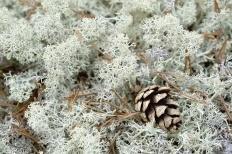 Ягель (Cladonia rangiferina)