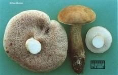 Ложный белый гриб (Tylopilus felleus)