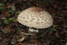 Зонтик краснеющий (Chlorophyllum rhacodes)