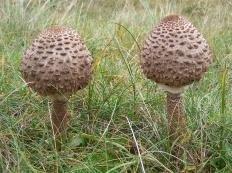 Зонтик пёстрый (Macrolepiota procera)