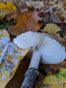 Amanita pantherina - Мухомор пантерный