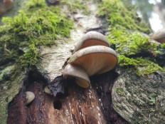 Panellus serotinus - Вёшенка осенняя