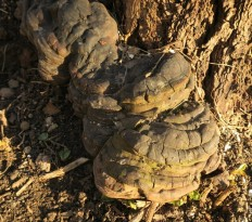 Ganoderma applanatum - Трутовик плоский
