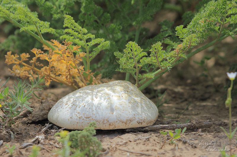 Белый степной гриб (Pleurotus eryngii)