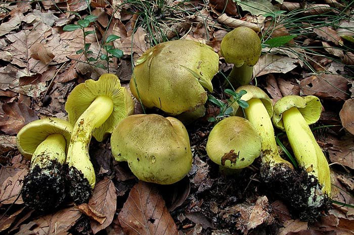 фото зеленушки грибы