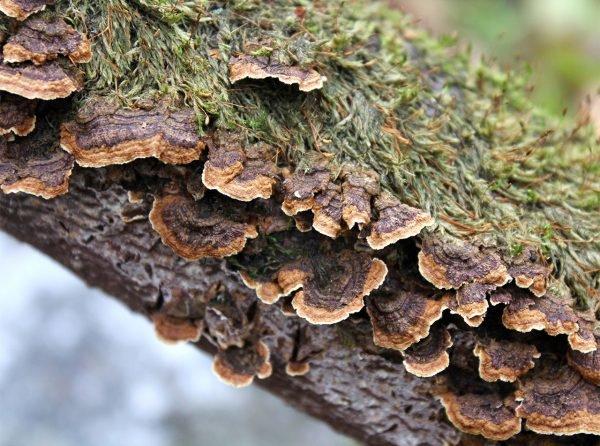 Псевдохете табачно-бурая (Pseudochaete tabacina)