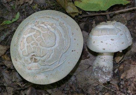 Шампиньон таблитчатый (Agaricus tabularis)