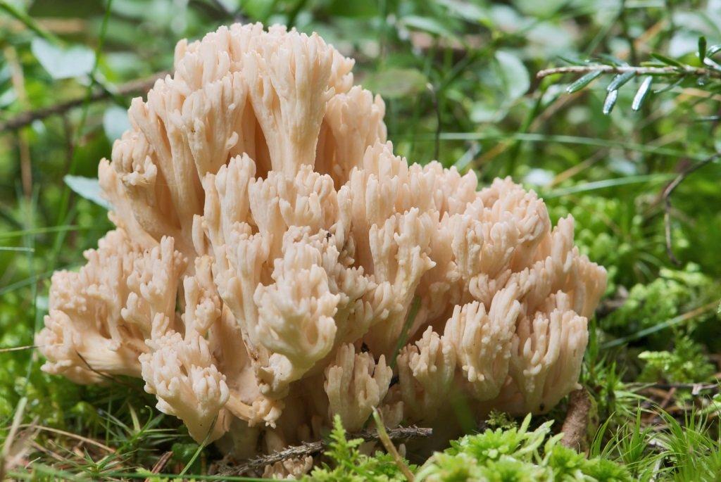 гриб рамария фото