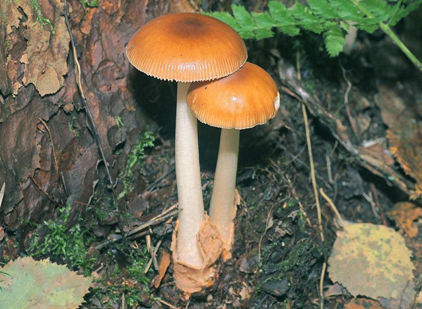 Поплавок желто-коричневый (Amanita fulva)
