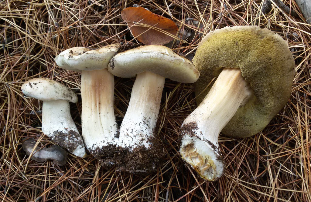 Белый гриб берёзовый (Boletus betulicola)