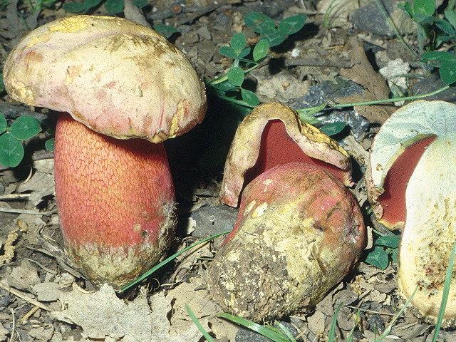 Ложный сатанинский гриб