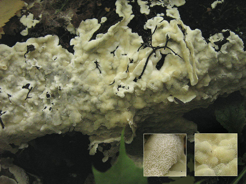Церипориопсис войлочно-опоясанный