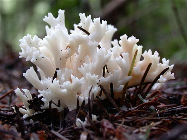 Клавулина коралловидная