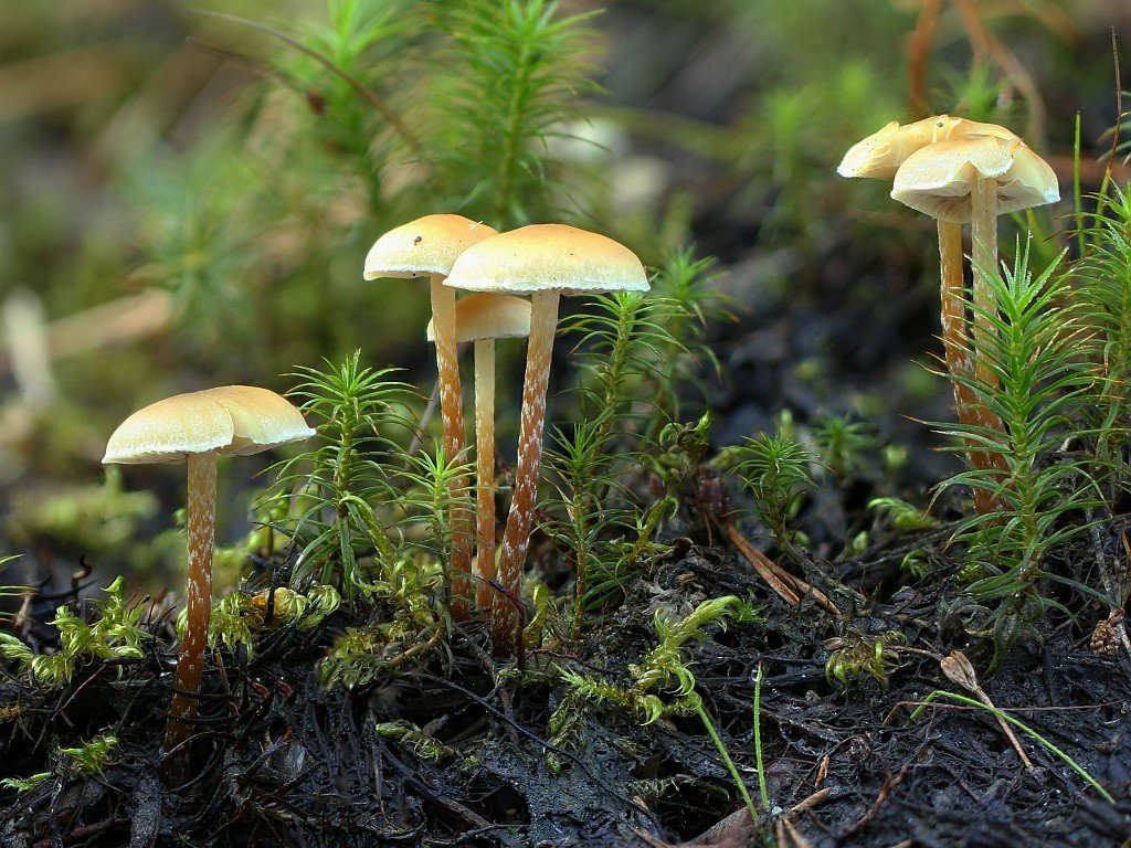Ложноопенок длинноногий (Hypholoma elongatum)