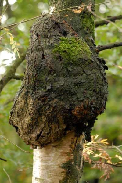 Трутовик скошенный (Inonotus obliquus)