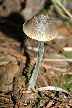 Мицена полосатоножковая (Mycena polygramma)