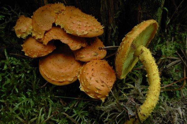 Чешуйчатка огненная (Pholiota flammans)