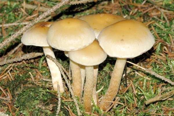 Чешуйчатка слизистая (Pholiota lubrica)